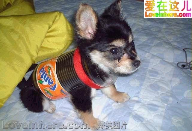 宠物狗的防弹衣