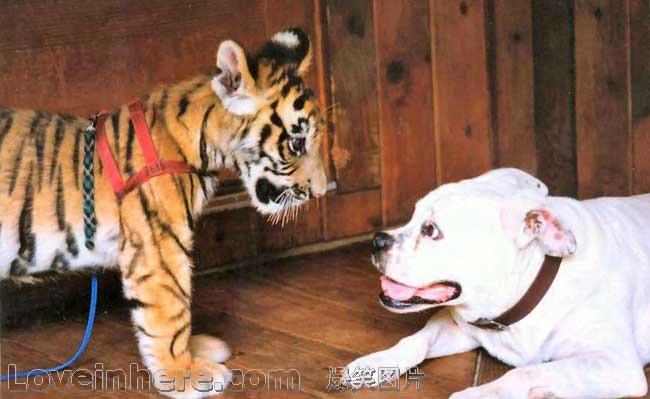 温柔的老虎,凶恶的狗