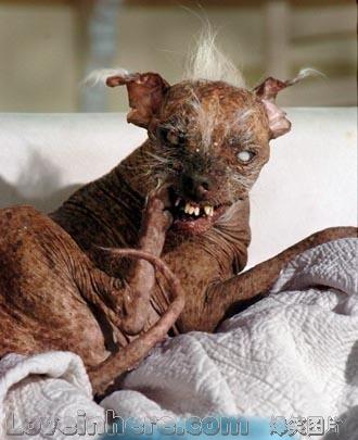 全世界最丑的狗图片