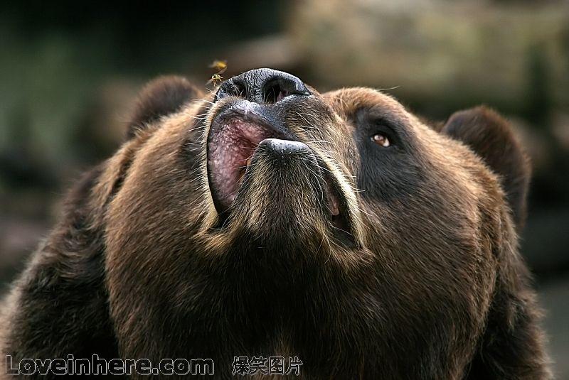 连棕熊都不怕的小动物